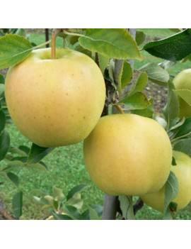 Jabloň zimná ´DENÁR...