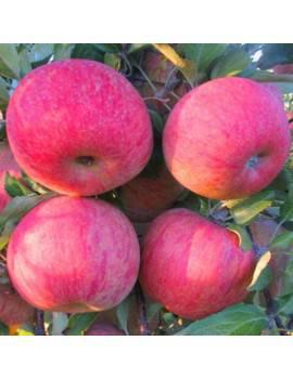 Jabloň zimná ´FUJI KIKU´...