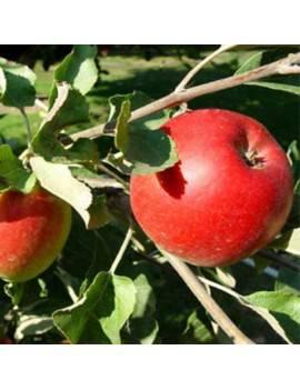 Jabloň zimná ´JONATHAN´...