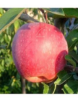 Jabloň zimná ´FLORINA´,...