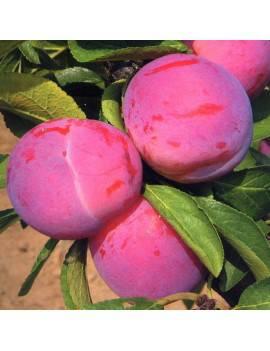 Ringlota fialová...