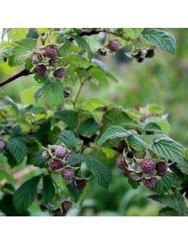 Malina fialová ´GLEN COE´,...