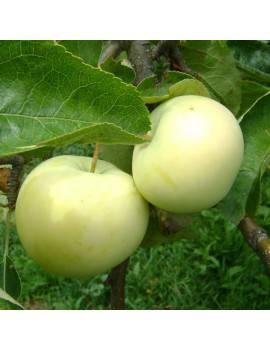 Jabloň letná ´PRIESVITNÉ...