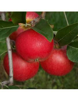 Jabloň jesenná ´RUBINOLA´,...