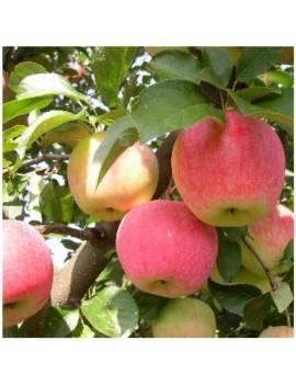 Jabloň zimná...