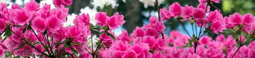 Azalky a rododendróny