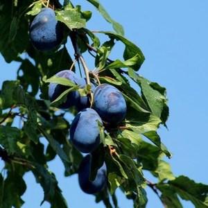 floramarket ovocné stromy slivky