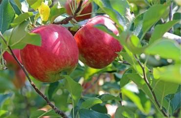 Prv ako kúpime ovocné stromčeky
