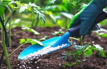 Hnojenie pred koncom vegetačného obdobia.