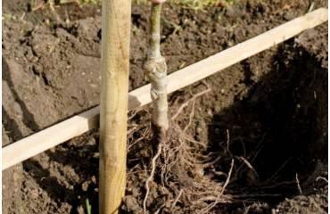 Jednoduchý návod na správnu výsadbu ovocných stromčekov